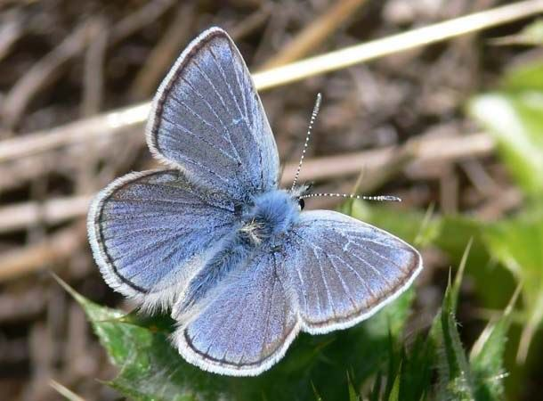 Mission-Blue-Butterfly