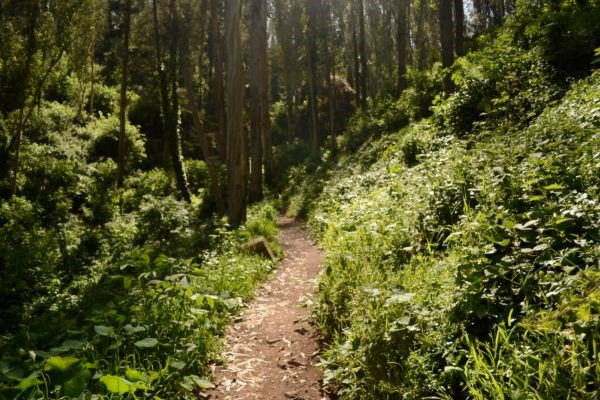 Trail through dense foliage and tall trees