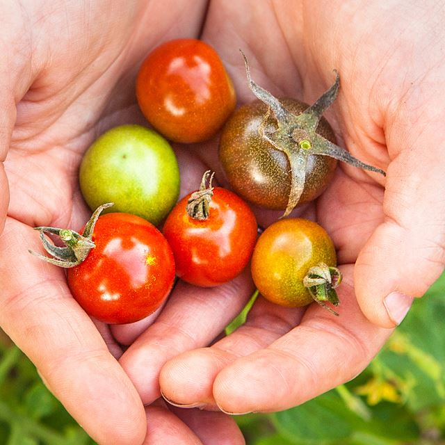 Handful of small tomatoes